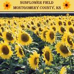 Sunflower Field (audosborne)