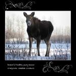magnificent moose (linken)