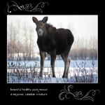 magnificent moose (keli)